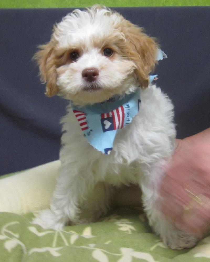 Available Puppies | Grooming, Dog Shop, Photography, Little